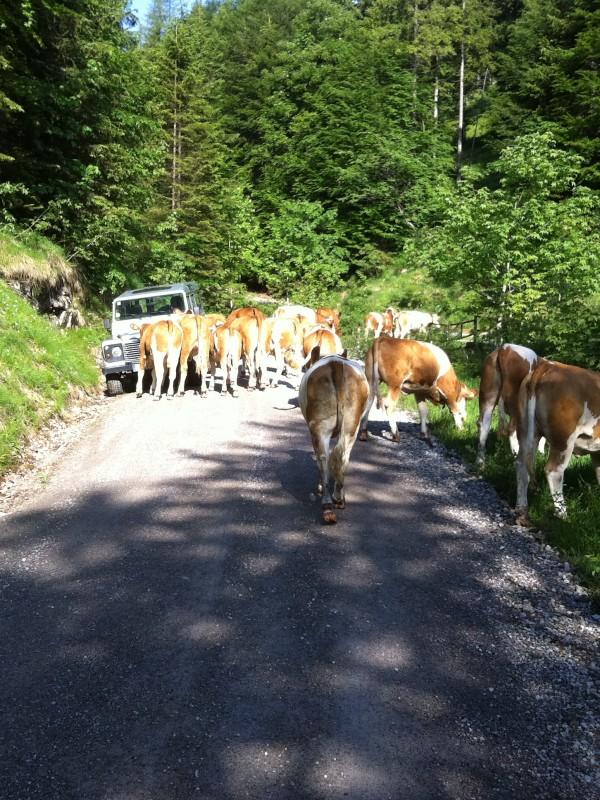 Almauftrieb der Kühe Richtung Almbad Sillberghaus