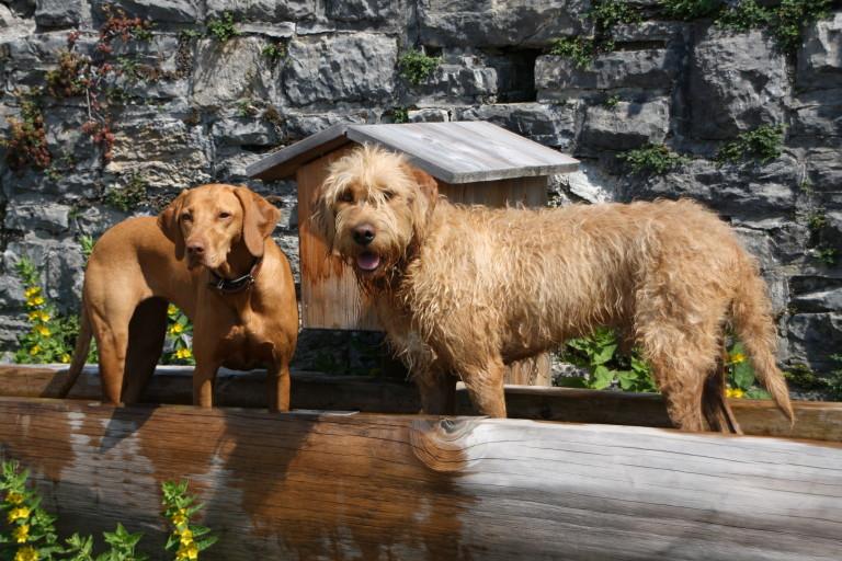zwei Hunde kühlen sich im Wasser ihre Pfoten - auch sie sind gerne Gast im Almbad Sillberghaus