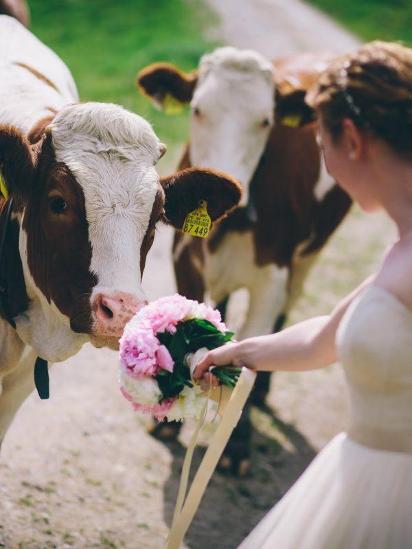Zwei Almkühe beschnuppern den Brautstrauß auf dem Weg zum Almbad Sillberghaus